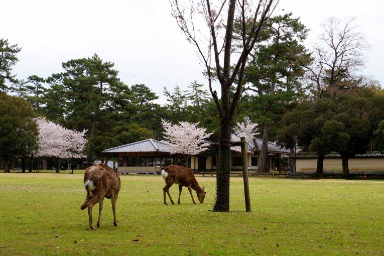 사슴으로 가득한 나라공원(奈良公園)