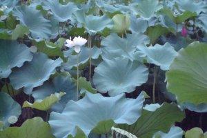 Water flower pond