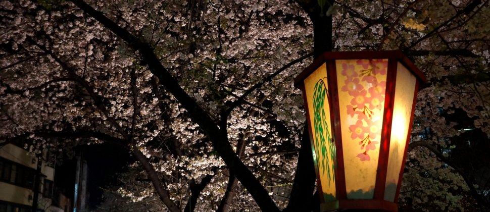 벚꽃, 야경, 그리고 기온