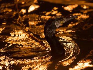 Un cormoran fait le tour à la recherche de poissons