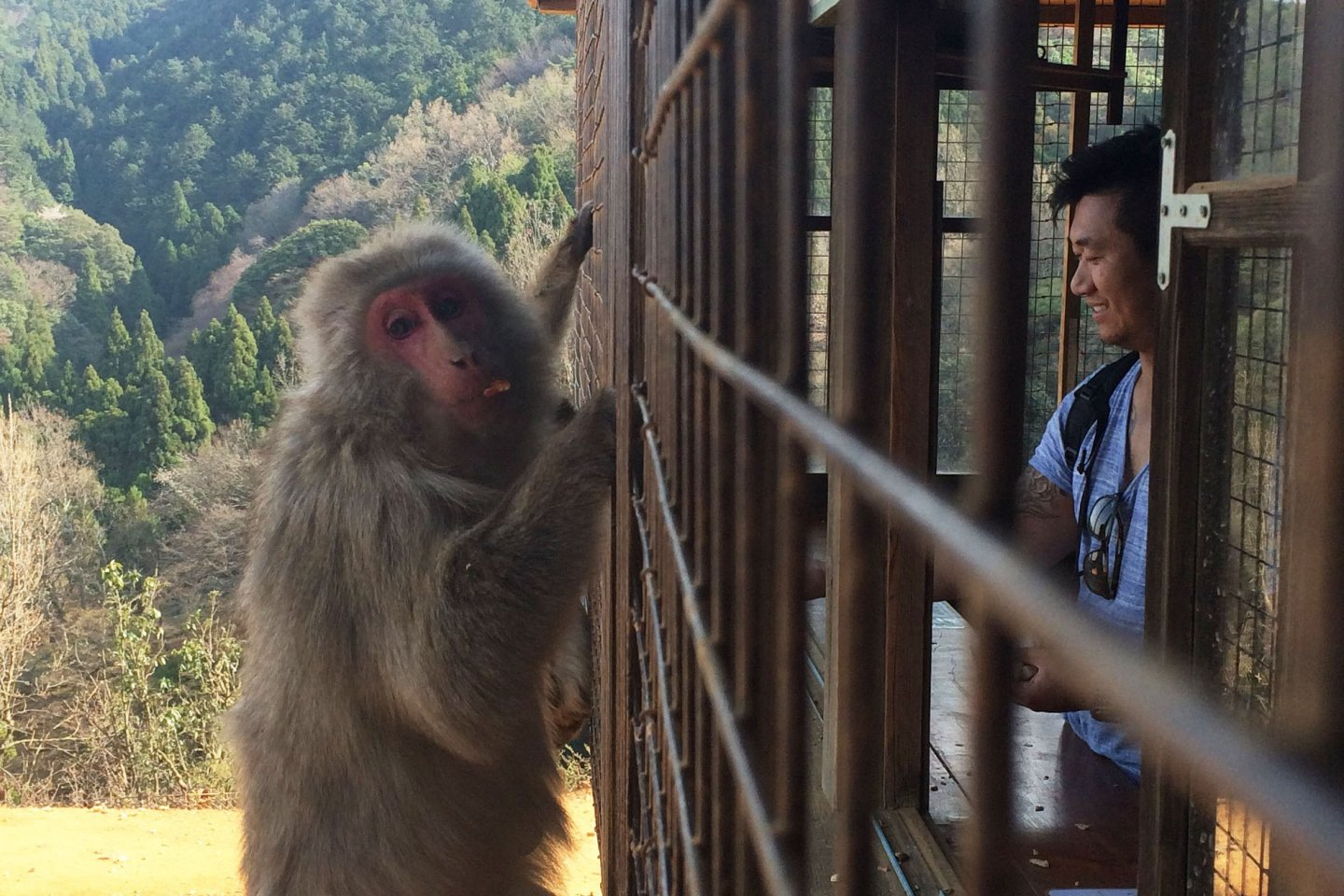Go inside the caged area to feed the monkey at Monkey Park Iwatayama.