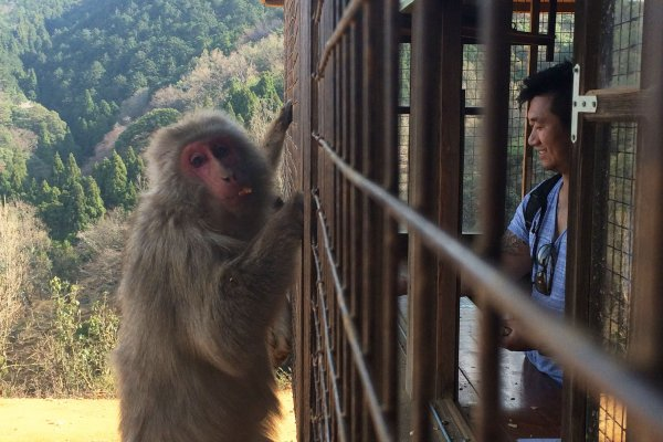 Go inside the caged area to feed the monkey at Monkey Park Iwatayama.