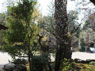 본전 앞의 매화나무