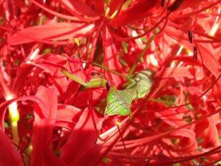 Паучья лилия в цвету. Рядом с местом, где продают амулеты.