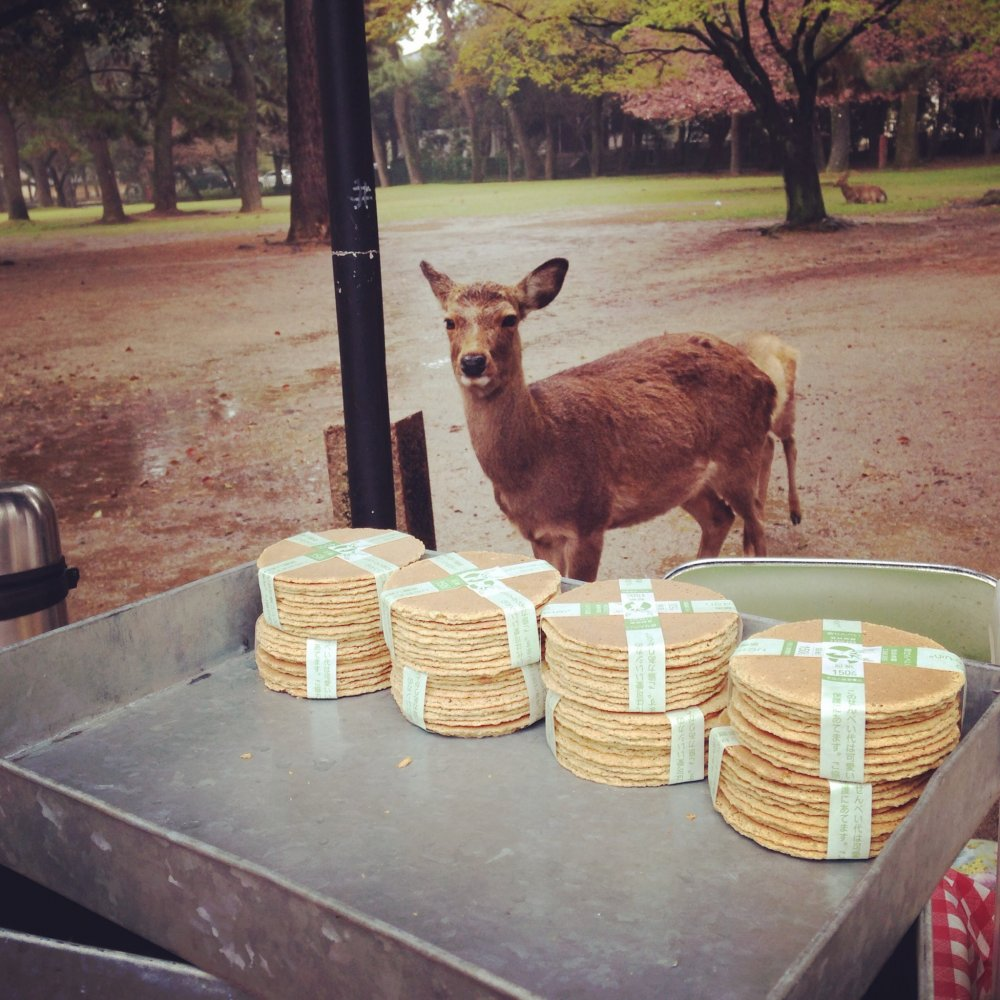 This beautiful doe stalks the shika-senbei(deer cracker) vendor. Crackers for sale for 150yen.