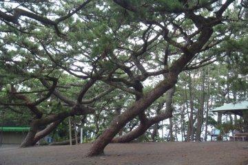 Miho no Matsubara's Gnarly Trees