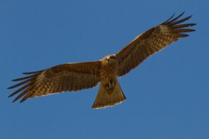 A hawk glides over the park