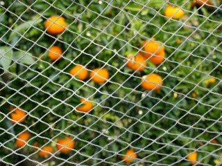Passámos por várias árvores carregadas de tangerinas prontas a colher. Pelo caminho pudemos apenas comprar algumas tangerinas por 100 ienes (1 dólar).