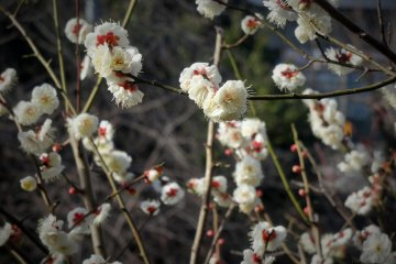 Early Plum Blossoms in Ikegami