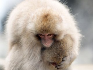 ลิงพวกนี้จะปีนขึ้นไปบนตัวของกันและกัน เหมือนกับที่มนุษย์ทำ