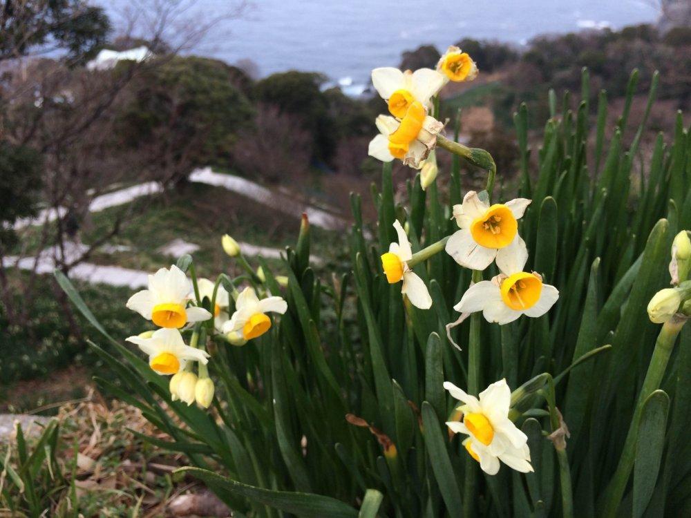 Campos de narcisos a florescer no inverno estendem-se pela costa de Echizen até não dar para ver. Diz-se que estas flores, que enfrentam o vento frio do inverno até florescerem, representam a resiliência do povo de Fukui e são um símbolo de longa data da prefeitura.