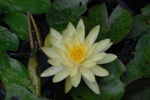 The Divine Lotus