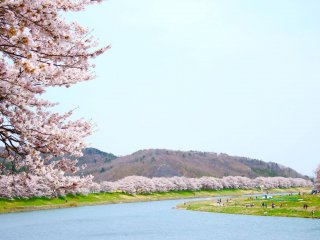 Sakura flank the gently flowing Shiroishi River