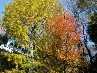 Некоторые деревья, кажется, изменили цвет сразу целиком, некоторое плавно и с переходом, но иногда это совершенно фантастическая смесь цветов!