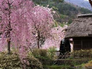 A weeping sakura next to the village water mill