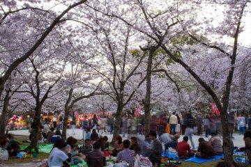 Hanami at Nishi Park