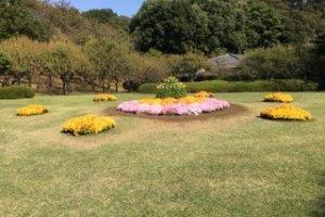 Les chrysanthèmes sur la pelouse