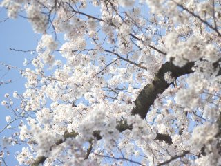 Despite pink blossoms being more popular, white blossoms are also very beautiful too