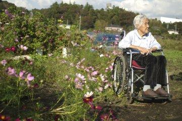 Cosmos Blossoms in Fujisawa