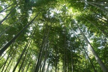 Taman Bambu di Dekat Tokyo