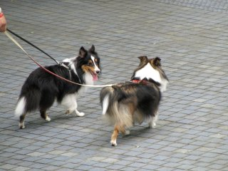 Dogs on a walk