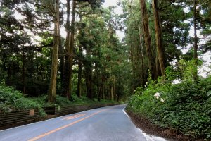 Tall cedars line both sides of the road