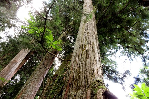 The strees stand 30 meters tall