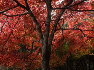 Autumn maples filled the trail at the bottom of Mt. Misen