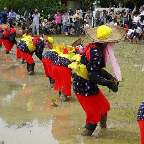 Arao Rice Planting Festival