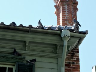 An audience of pigeons
