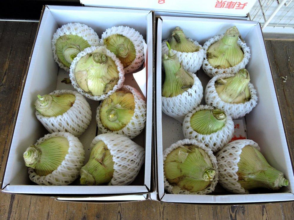 Famously sweet Awaji 'fruit' onions