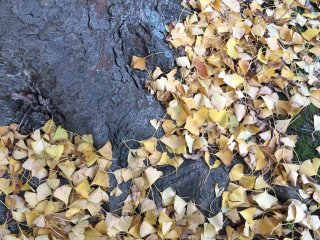 Ginkgo leaves on the ground.
