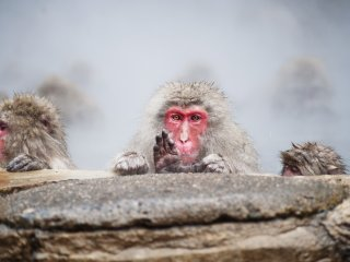 The snow monkeys show a variety of facial expressions