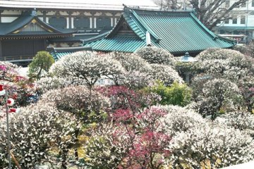 งานเทศกาลดอกพลัมที่บุงเกียว