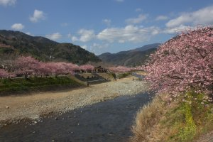Kawazu town is decorated with with pink cherry blossoms as early as February