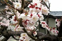 Musim Hanami di Jepang