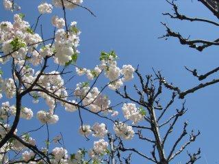 Sakura blooms when other trees are still bare