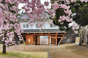 Cherry blossom at Maizuru Castle Park in Kofu