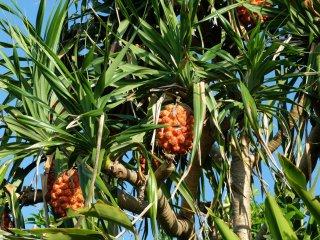 Snack pine