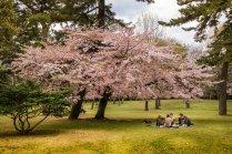 Flores de Cerejeira do Parque de Beppu