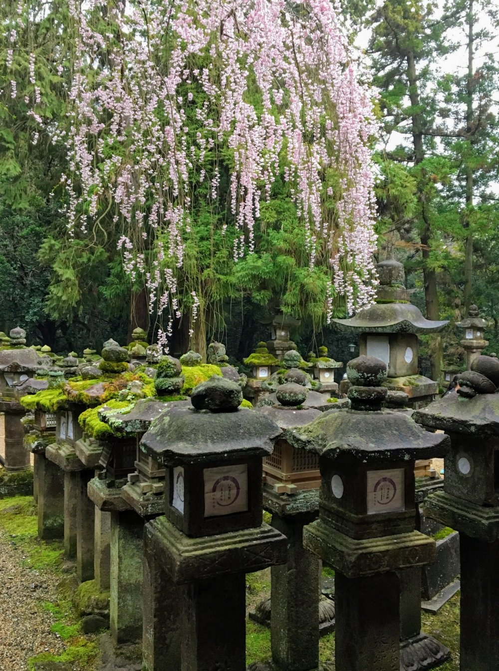 Cherry blossoms form a beautiful backdrop to the mossy stone lanterns