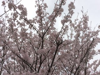 Even on a cloudy day you can appreciate the beauty of these blossoms