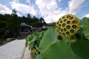 Lotus flower seed pods