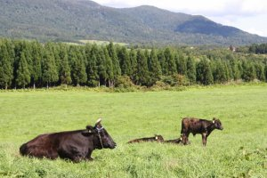 This is the only place in Japan that I've seen cows roaming freely in the fields!