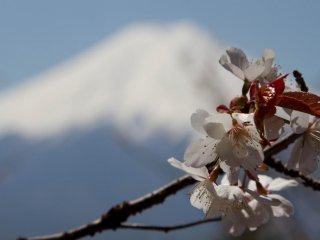 ภูเขาฟูจิและดอกซากุระ