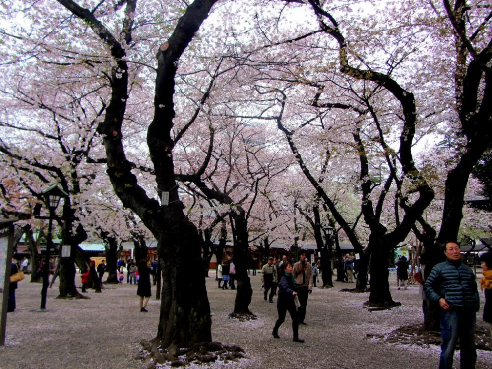 Once inside the gates, the cherry blossoms blanket the sky