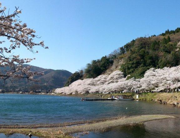 Cherry Blossoms of Kaizu Osaki