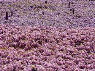 Depuis le dessus, les glycines ressemblent à un confortable tapis