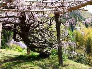 Le jardin a ouvert ses portes en 1977, et la largeur impressionnante de ce tronc nous montre le temps nécessaire pour obtenir une glycine de cette taille