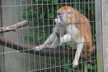 Macaques, Mandrills et Capucins